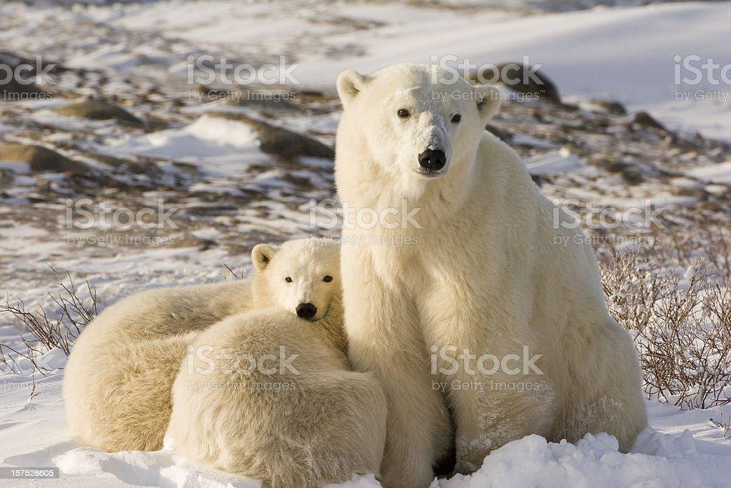 Polar bear family. stock photo