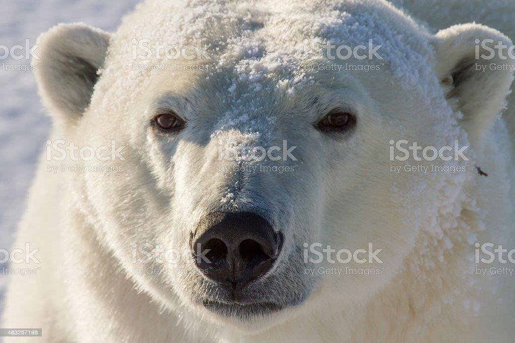 polar bear golden portrait stock photo