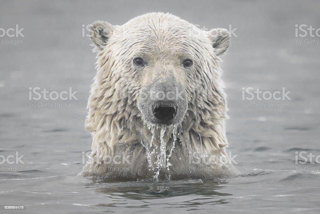 Polar Bear Head Emerging from Arctic Ocean stock photo