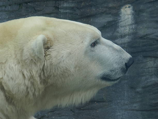 royalty free polar bear head pictures images and stock photos istock