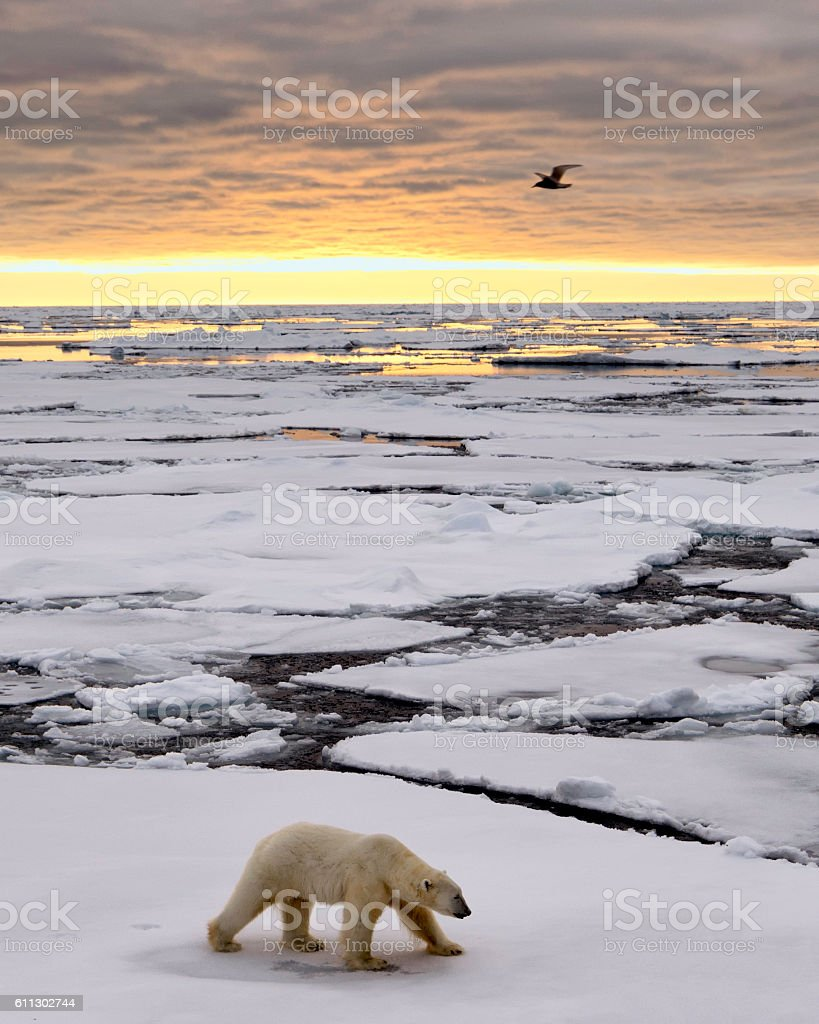 Polar Bear Ice Pack Sunrise stock photo