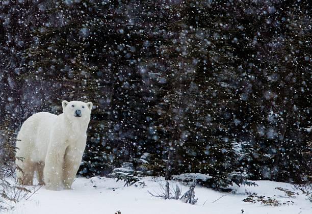 Polar bear in a snow storm stock photo