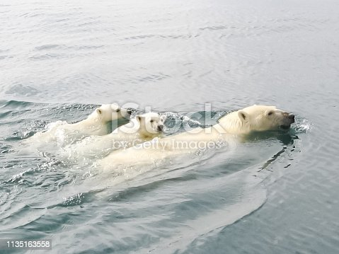 Polar bear in the arctic. Bears in the water.