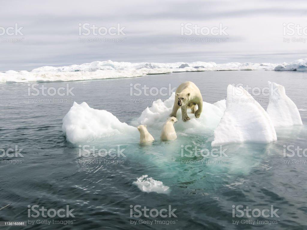 북극의 북극곰 - 로열티 프리 겨울 스톡 사진