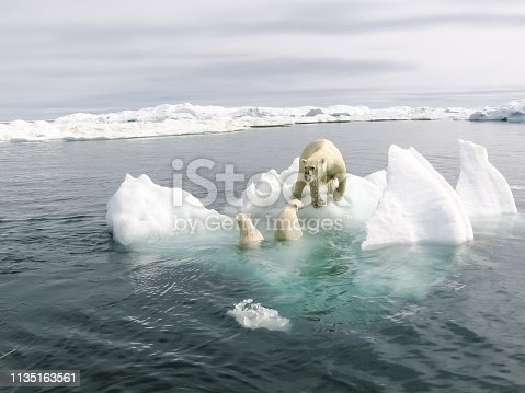 Polar bear in the arctic. Bears in the water.