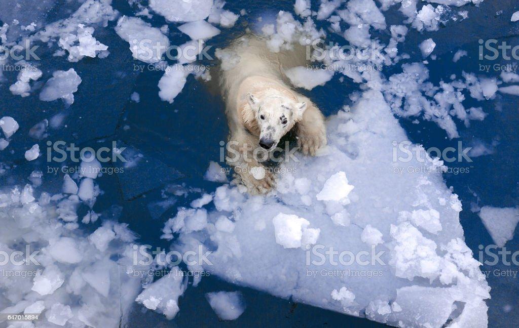 polar bear in the ice stock photo