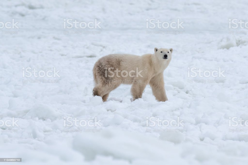 Polar bear in the snow stock photo