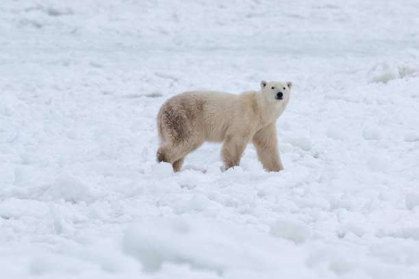 Polar bear in the snow stock photo