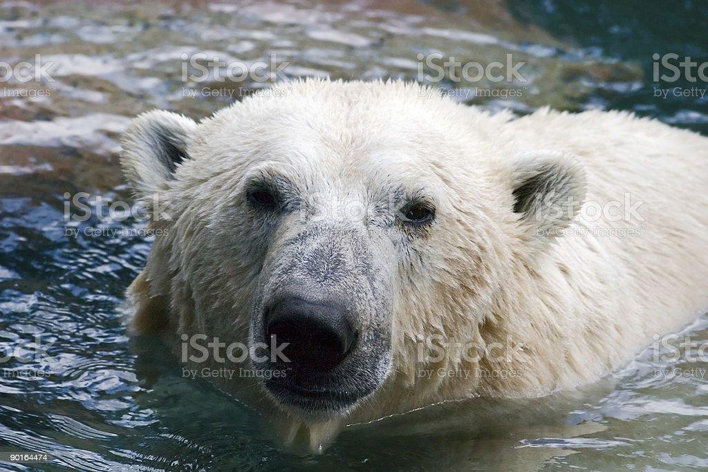 Polar bear in water royalty-free stock photo