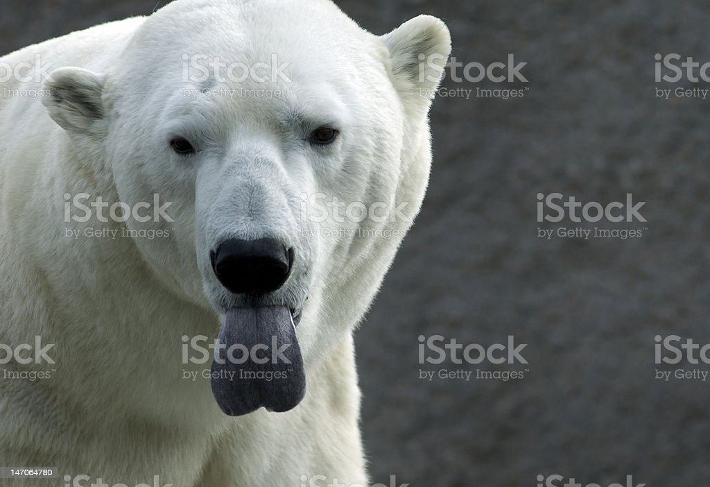 Polar bear is sticking out his tongue stock photo