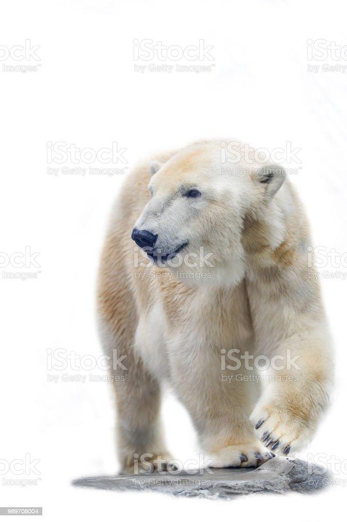 Eisbär auf dem weißen Hintergrund isoliert – Foto