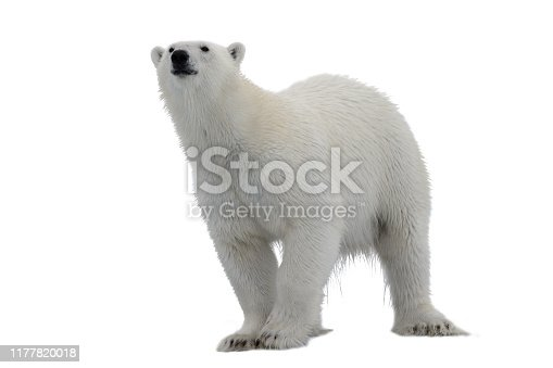A female polar bear sits in a snow bank with her two cubs. Manitoba, Canada.