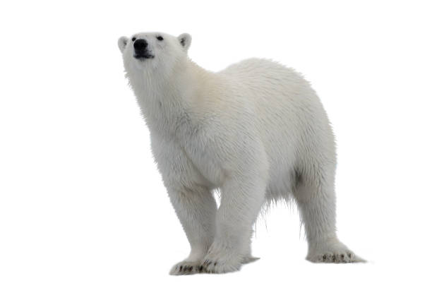 Polar bear isolated on white background stock photo