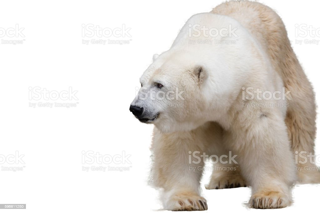polar bear. Isolated over white stock photo