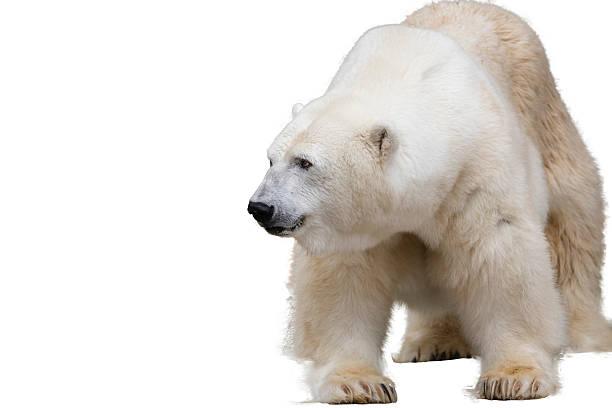 polar bear. Isolated over white stock photo