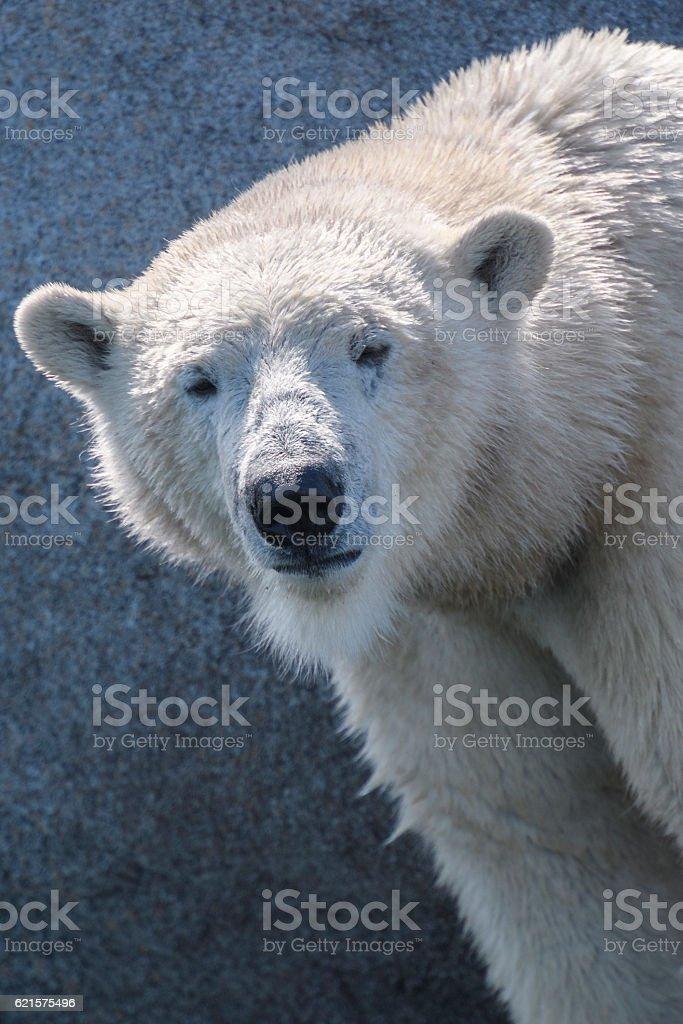 Polar bear looking at the camera photo libre de droits