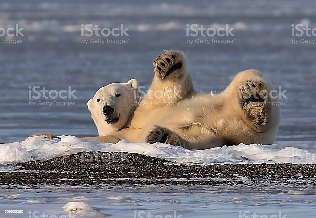 Polar Bear looking towards land while laying on the ice stock photo