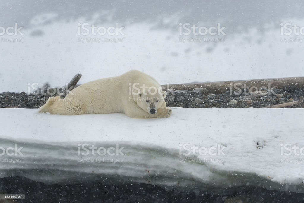 polar bear lying down in snow storm royalty free stock photo