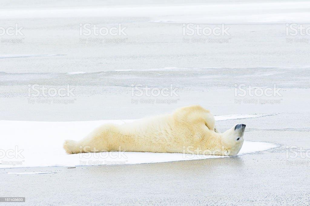 Polar bear lying down on ice. stock photo