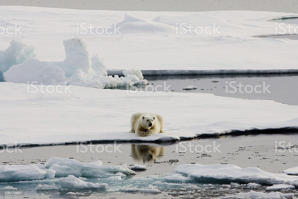 Polar bear lying on ice close to open water royalty-free stock photo