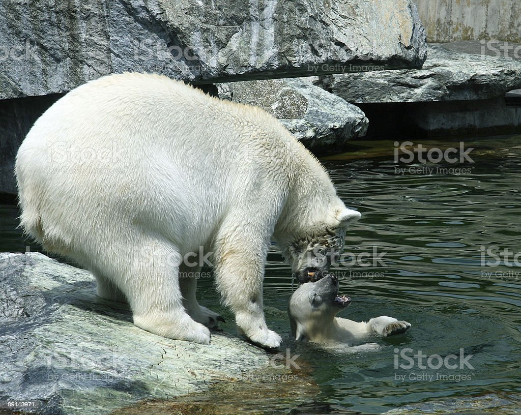 Polar Bear - Mama with Baby royalty-free stock photo