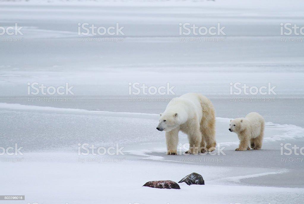 polar bear Mutter und cub auf Eis – Foto