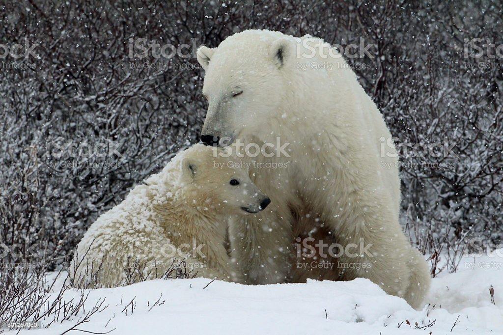 Polar Bear Mom-cub-snow stock photo