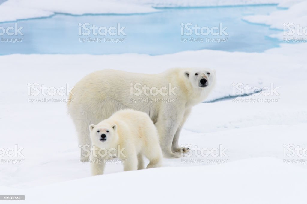 Polar bear (Ursus maritimus) mother and cub on the pack stock photo