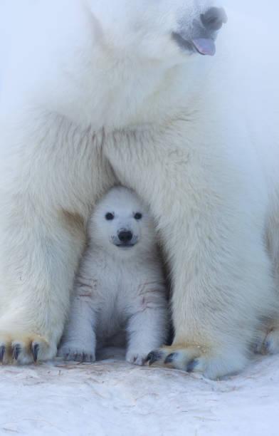 polar bear moeder en cub portret. - jong dier stockfoto's en -beelden
