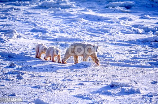 One polar bear (Ursus maritimus) mother strolling with her two cubs through the ice flows along the Hudson Bay.  Taken in Churchill, Manitoba, Canada.