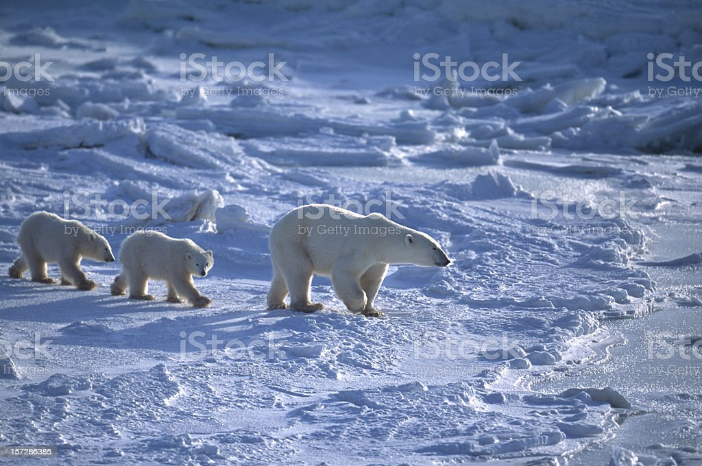 Polar Bear Mother and Two Cubs on Icy Hudson Bay stock photo