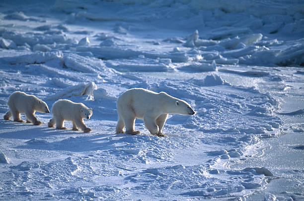 Polar Bear Mother and Two Cubs on Icy Hudson Bay Mother and her two polar bear (Ursus maritimus) cubs traveling across the ice fow of the Hudson Bay. cub stock pictures, royalty-free photos & images