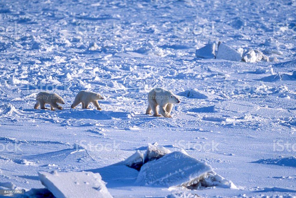 Madre y dos Polar Bear Cubs en refrescante de la bahía de Hudson - foto de stock