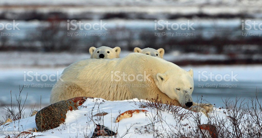 Polar Bear mother -two cubs stock photo