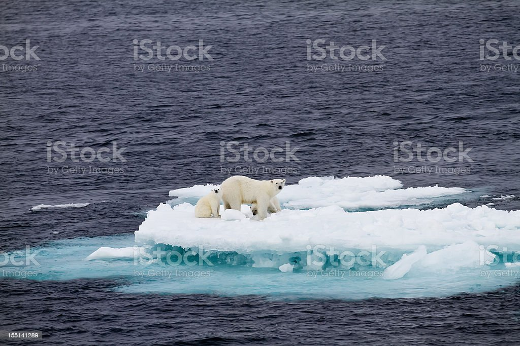 Polar bear mother with two cubs  on an ice floe stock photo