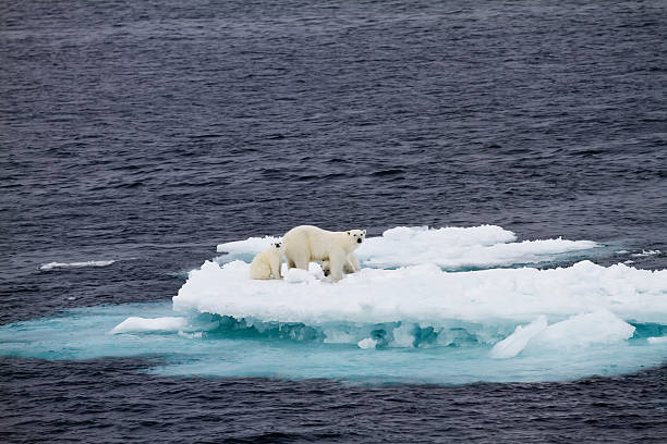 Polar bear mother with two cubs  on an ice floe  ice floe stock pictures, royalty-free photos & images