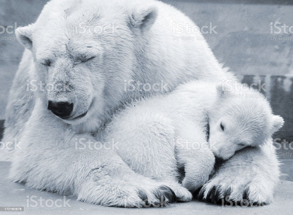 Polar Bear Mum stock photo