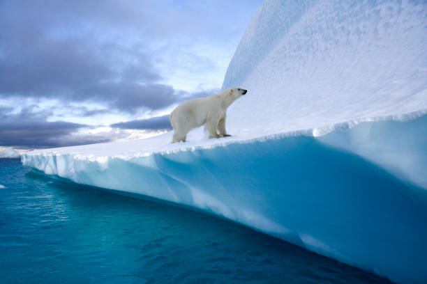 Polar Bear on an iceberg in Northwest Fjord - Greenland stock photo