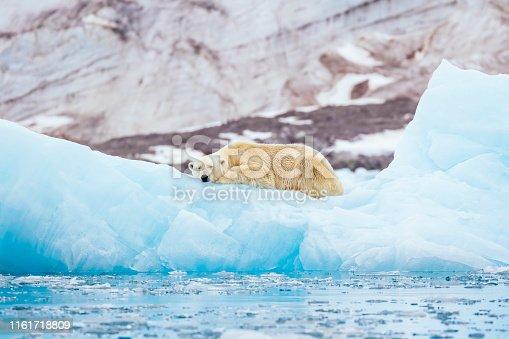 Polar bear (Ursus maritimus) resting on an iceberg in front of a glacier, Spitsbergen