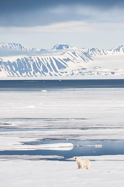Polar Bear on Arctic Sea Ice stock photo