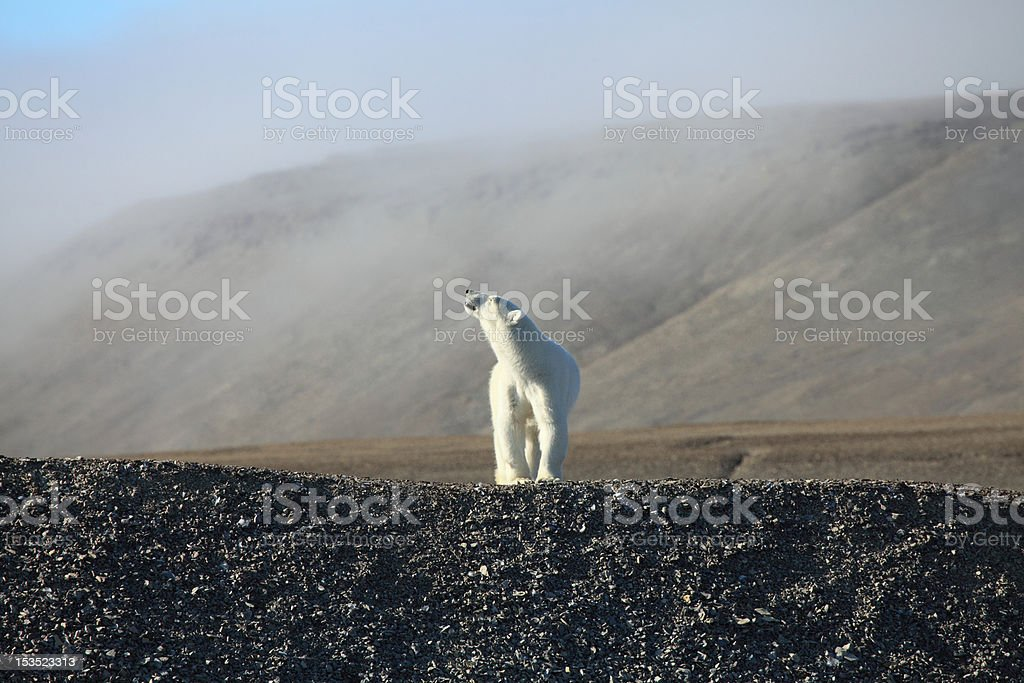 Polar Bear on Canadian Arctic rebound beach. stock photo