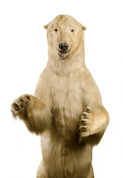 Polar Bear on Hind Legs stock photo