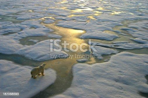 istock Polar bear on ice close to golden glittering water 182068593