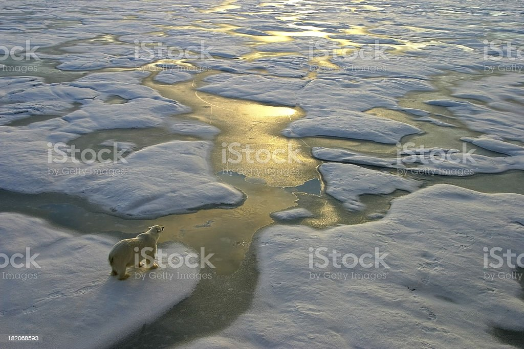 Polar bear on ice close to golden glittering water stock photo
