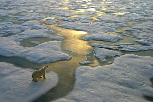 Polar bear on ice close to golden glittering water Polar bear on a wide surface of ice in the russian arctic close to Franz Josef Land.The light a ice floe stock pictures, royalty-free photos & images