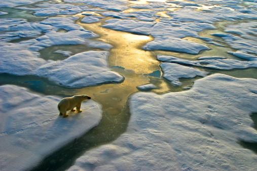 Polar Bear On Ice Close To Golden Glittering Water Stock Photo - Download Image Now