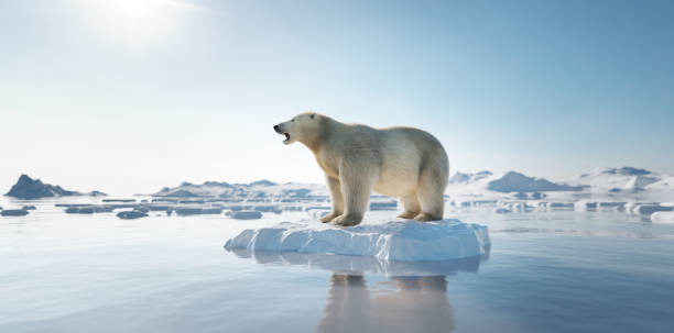 Polar bear on ice floe. Melting iceberg and global warming. stock photo