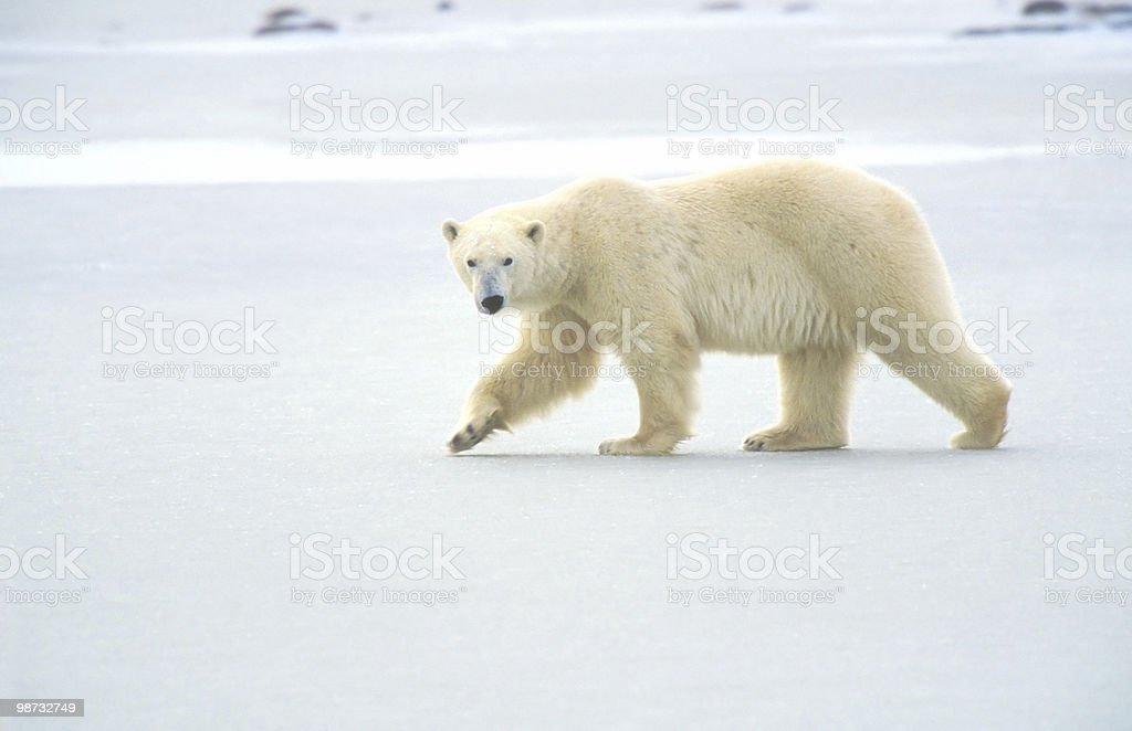 polar bear on ice in churchill canada royalty-free stock photo