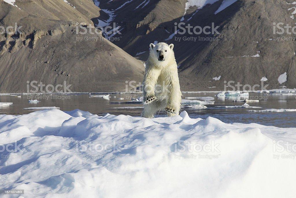 Polar Bear on ice stock photo