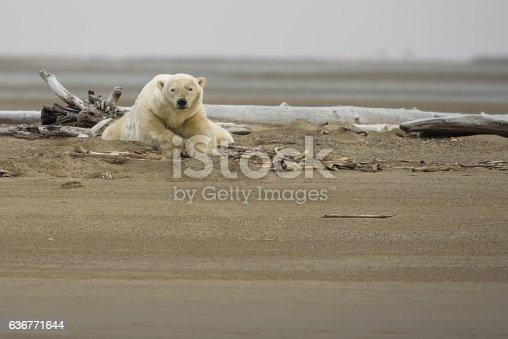 Polar Bear on Land Laying Down Looking at Viewer